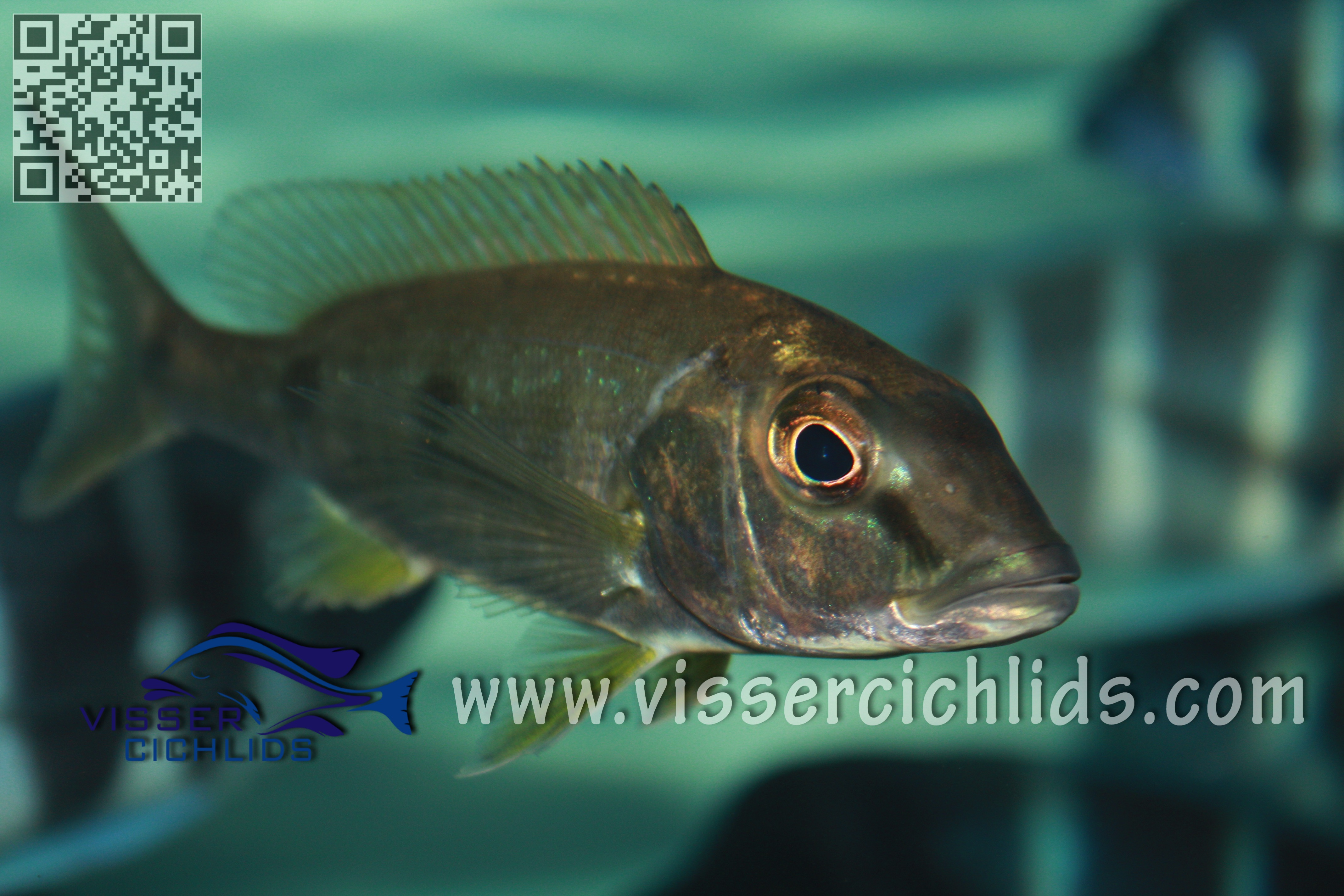 Boulengerochromis microlapis wild caught male